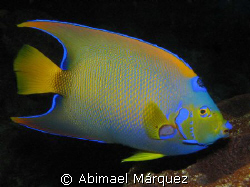 Queen Angelfish, Bonaire 2008 by Abimael M&#225;rquez 
